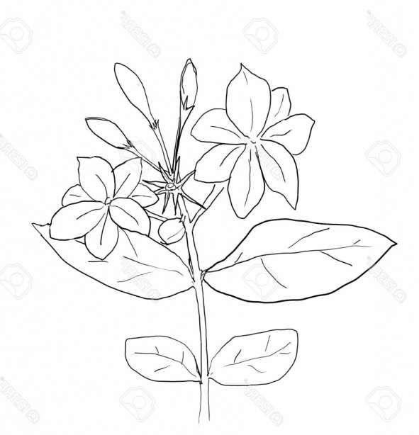 15 Jasmine Drawing Flower