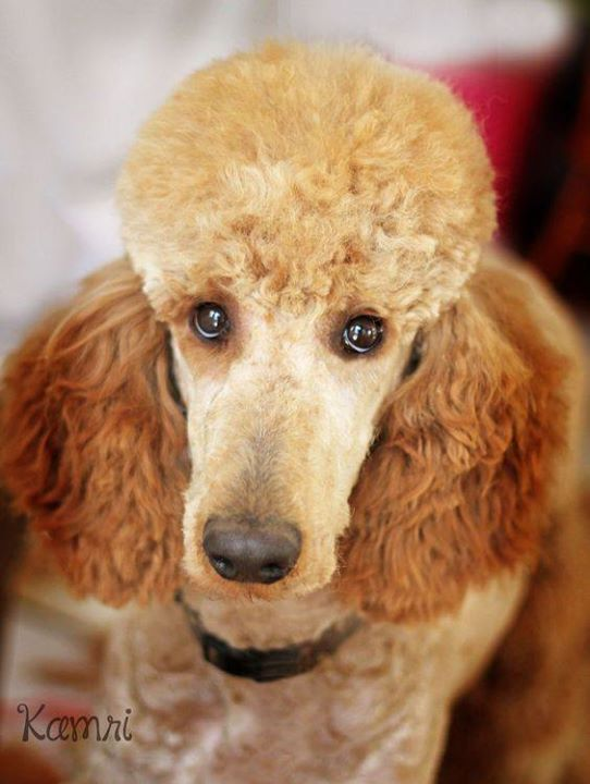 Lincoln With Beautiful Trim Perfect Poodle Atop Knot Poodle Dog