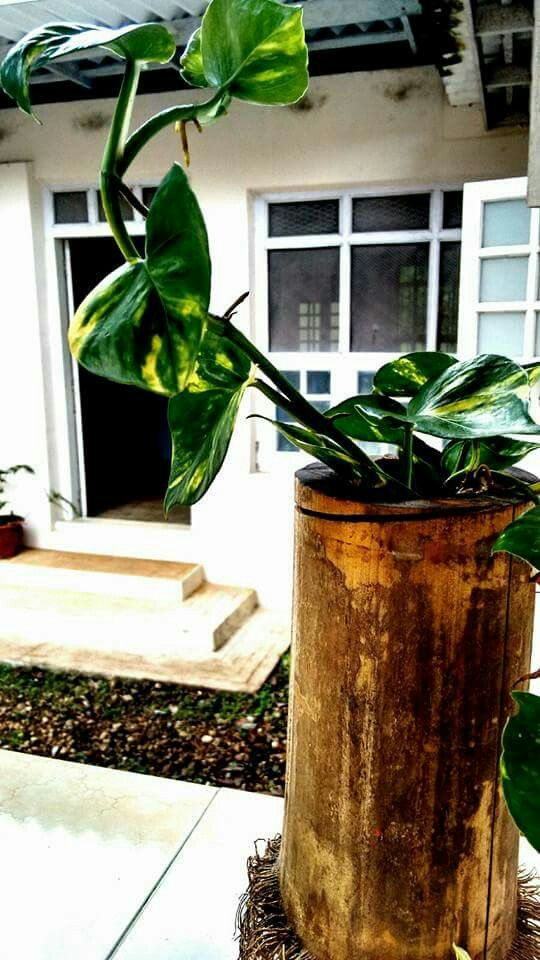 Money plant in a bamboo container