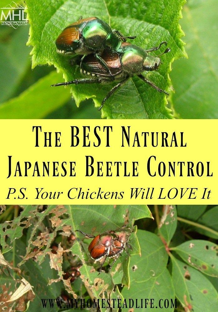 The Best Natural Japanese Beetle Control P S Your Chickens Will Love It Japanese Beetle Control Japanese Beetles Japanese Beetles Trap