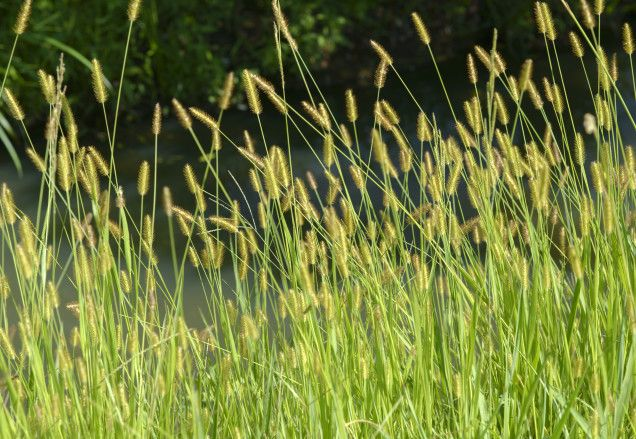 Best 25 Foxtail Weed Ideas On Pinterest Weed Types