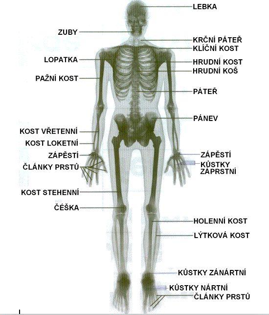 Přehled názvů hlavních kostí.