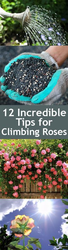 Great ideas for your climbing roses in your garden                                                                                                                                                                                 More