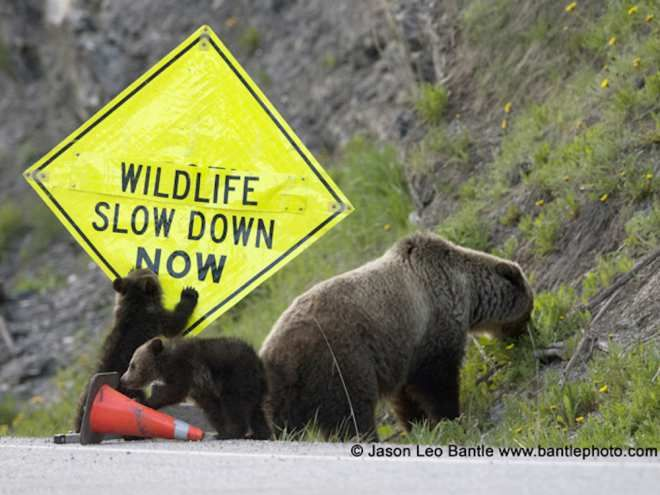 A grizzly bear family forages along a road sign on Highway 93 South in Kootenay National Park.
