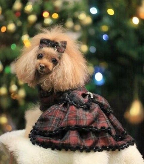 2017.12.25 🤶 #meru ・ Merry Xmas 🎁 ・ お気に入りの1枚❤️❤️❤️ ・ ・ もみママがもみちゃんの為に作ったワンピースを借りて撮ったんやけど メルええ顔して振り向きしてるわぁ😆💕💕💕 ・ ・ ・ #toypoodle #redpoodle #dogcute #lovedogs #west_dog_japan #dogsmile #poodle_feature #instagramjapan  #メル #レッドプードル#ふわもこ部 #親バカ部 #貴婦狗 #愛犬 #トップノット #神戸#カフェ#クリスマス#何故か人の服借りたらええ顔するわあ😆