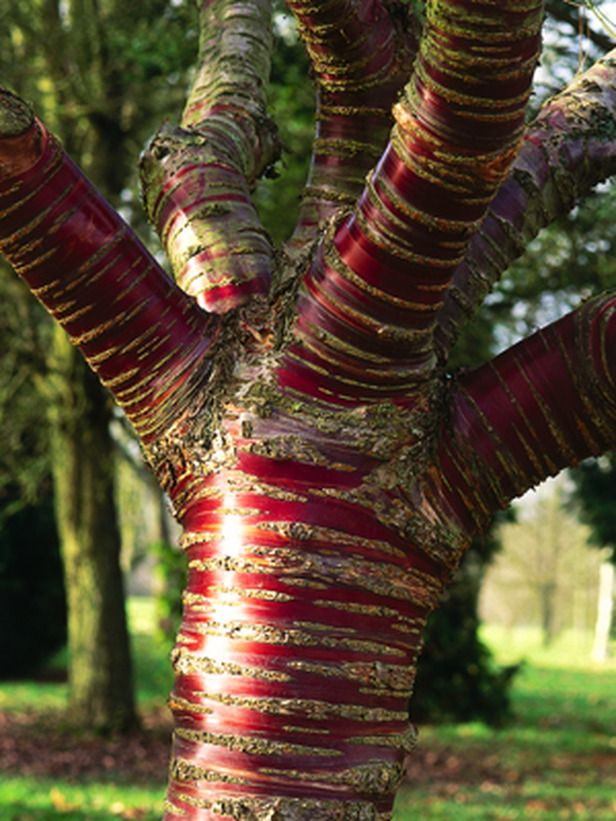 Paperbark Cherry - what a beautiful tree!