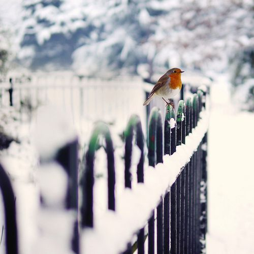 Bird, snow, fence, cold, winter, photography, photo, nature