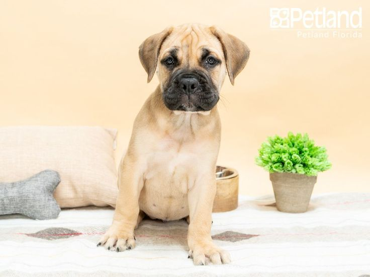 Petland Florida Has Bullmastiff Puppies For Sale Check Out All