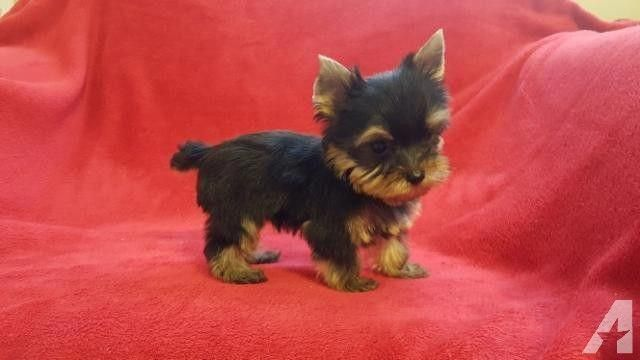Pin By Holly Franklin On Things That Make You Go Awwww In 2020 With Images Teacup Yorkie Yorkie Puppy For Sale Yorkie Puppy