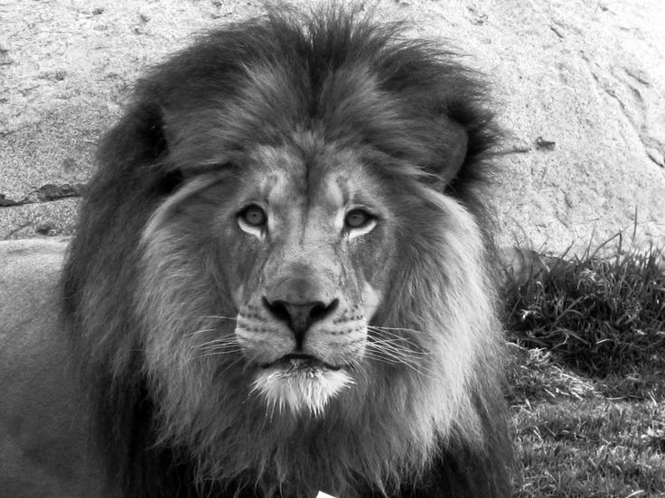 Animals Black And White Elephants 10000 Lions Big Cats: 240 Best Black & White Images On Pinterest