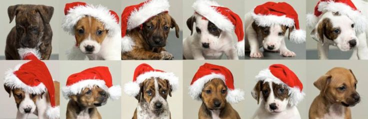 A litter of adorable puppies (complete with Santa hats) are looking for a new home this Christmas.