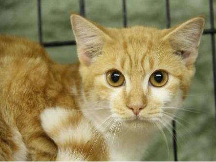 URGENT!! Advocates for Shelter Animals of Poca.hontas Co., WV  YANKEE is an adult, male Tabby urgently in need of rescue or adoption from the Pocahontas County Animal Shelter in Marlinton, WV.  He only has $5 in pledges. For adoption or rescue info email: asapwva@gmail.com