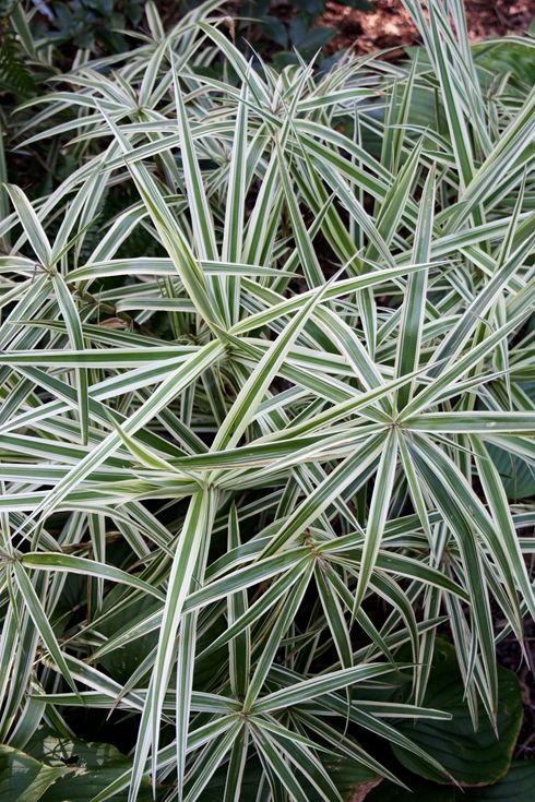 Sparkler Sedge for sale buy Carex phyllocephala 'Sparkler' .... another shade grass replacement....I love the variegated leaves and the 'umbrella' effect... would be lovely under ferns and azaleas..
