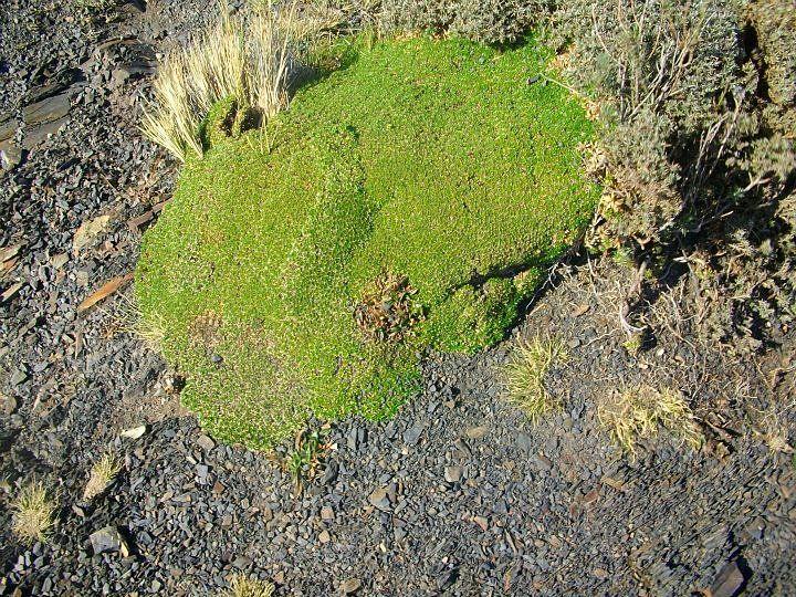 Parque Nacional Torres del Paine  Llareta (Azorella compacta)