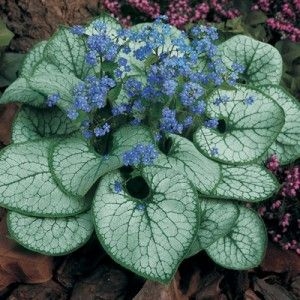 "Brunnera ""Jack Frost"" - brightens up the shady areas with almost neon bright blue flowers and amazing white foliage."