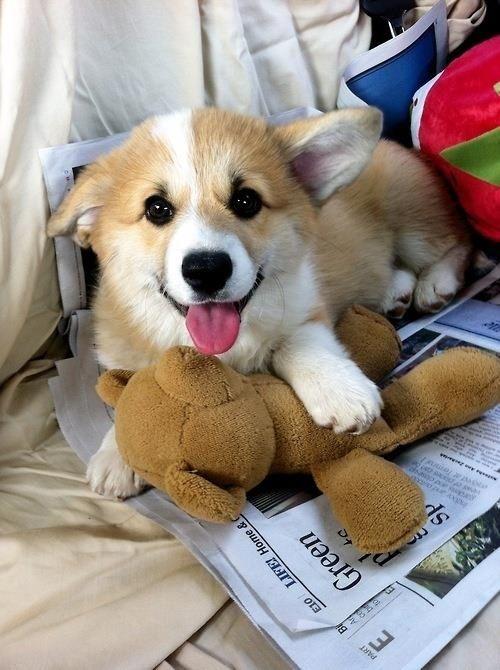 The Sunday paper #corgi #dog and stuffed animal