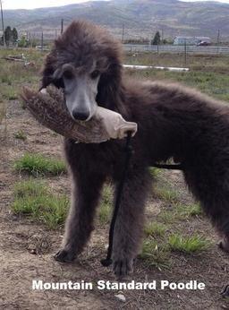 Silver Standard Poodles for Sale | Standard Poodles for sale Silver standard poodle puppies Blue standard ...