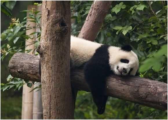 Funny Bears Sleeping In 2020 Funny Bears Bear Panda Bear