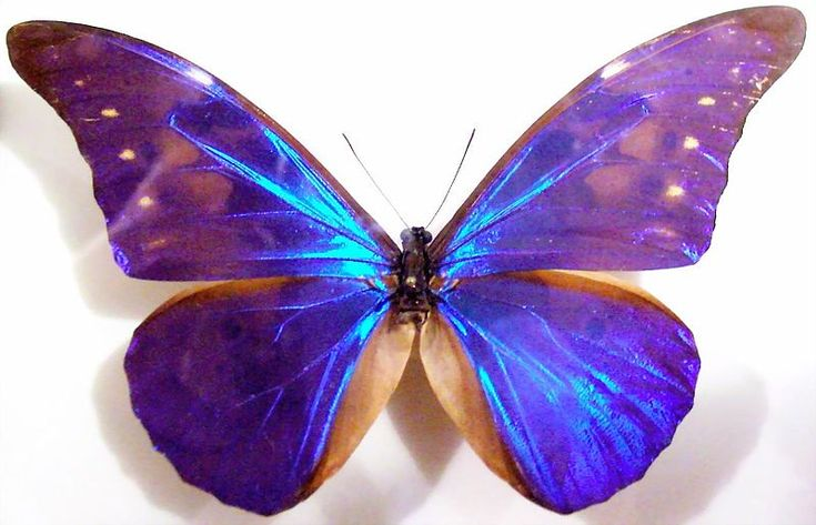 The Rhetenor Blue Morpho (Morpho rhetenor) is a Neotropical butterfly. It is found in Surinam, French Guiana, Brazil, Peru, Ecuador, Colombia and Venezuela.