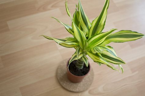 How to Take Care of Dracaena Massangeana Plants