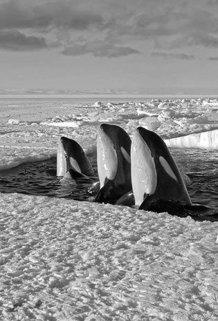 Orca Whales, Photograph by David Attenborough