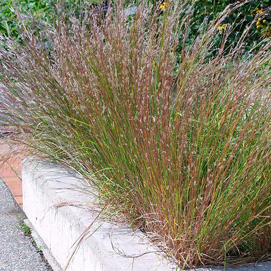 48 best ornamental grasses images on pinterest garden for Ornamental prairie grass