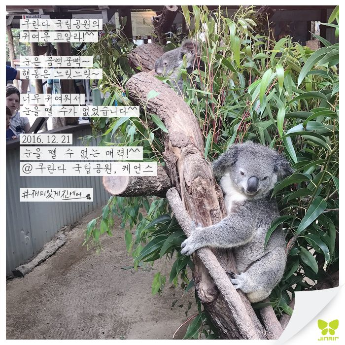 Today's Photo From Cairns #Today_Photo with Jin Air #jinair #Cairns #cairns #진에어 #케언스 #재미있게진에어 #재미있게지내요 #코알라 #매력덩어리 #매덩