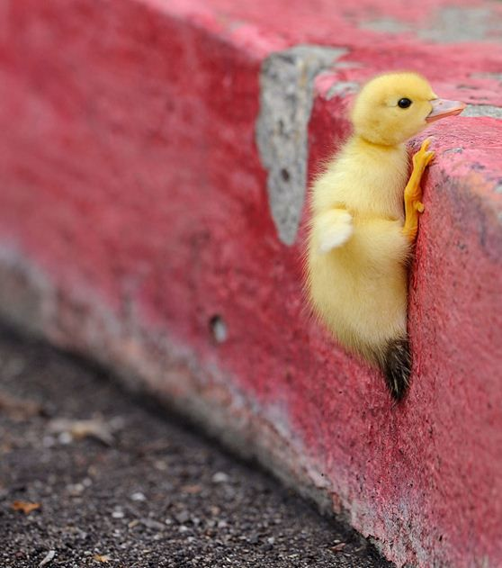 Determined little ducky
