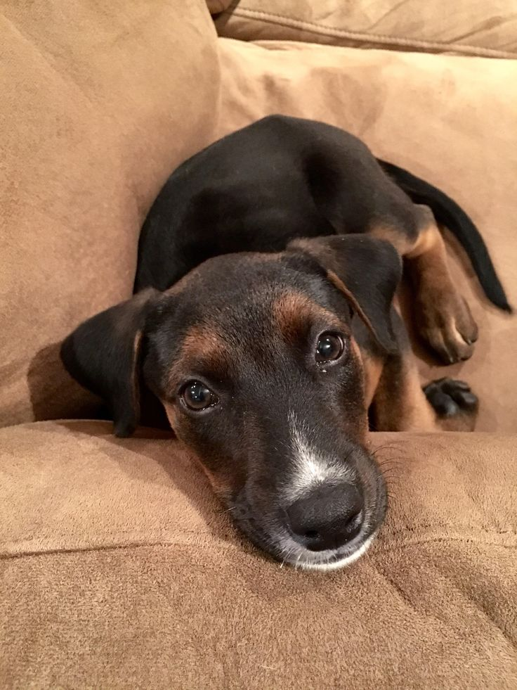 Just bought our first house and adopted a puppy! A mix Labrador/Doberman. Her name is Maïla!}}