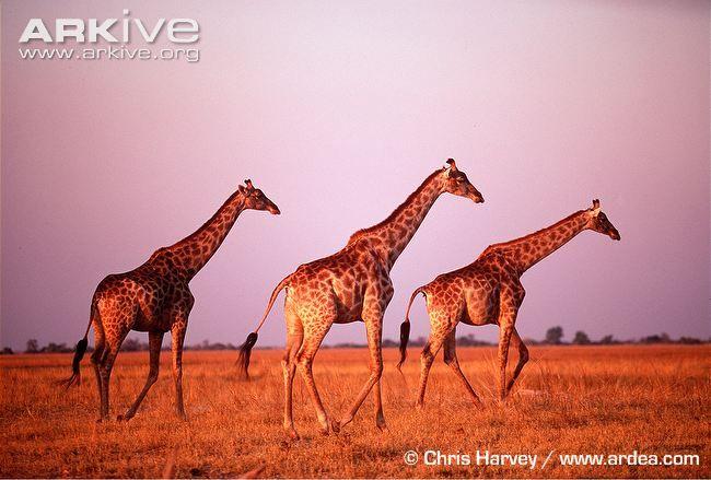 Giraffe photo - Giraffa camelopardalis - image-G12257