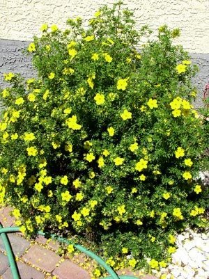 Potentilla Very Nice Long Lasting Bloom Easy To Trim If