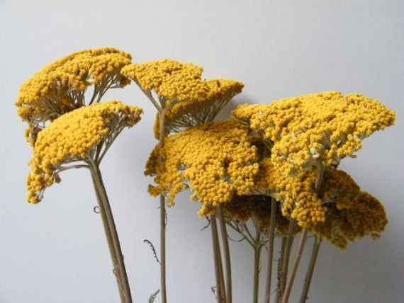 Achillea Bunch Dried Yarrow Flowers Yellow Dried Flower Stems In 2020 Dried Flowers Yarrow Flower Dried Flower Bouquet