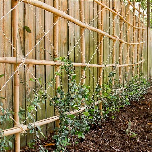 Sterjasmijn/Toscaanse jasmijn haag 1 meter (groenblijvend)