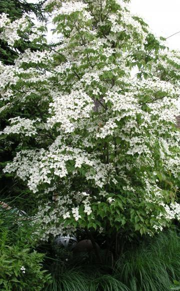 Der Blumenhartriegel (Cornus florida) ist ein zauberhafter kleiner Baum (fünf bis zehn Meter hoch und breit) mit auffälligen, blütenblattähnlichen Hochblättern. Wie die meisten Kleinbäume kann er ebenso als Großstrauch wachsen. Die Sorte 'Rubra' gehört zu den besten Gartenformen seiner Art. Alle Blumen-Hartriegel sind für neutrale bis saure Böden geeignet und vertragen Sonne bis Halbschatten.