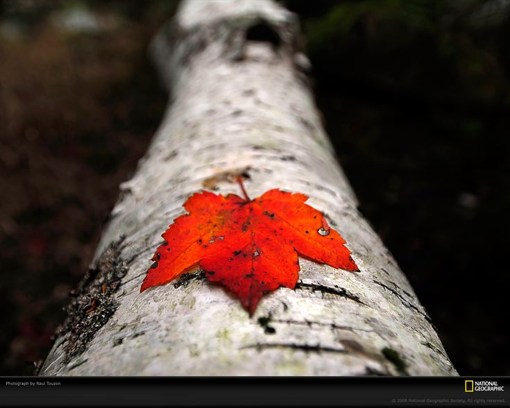Canada: Red, Autumn, Color, National Geographic, Maple Leaf, Maple Leaves, Photography
