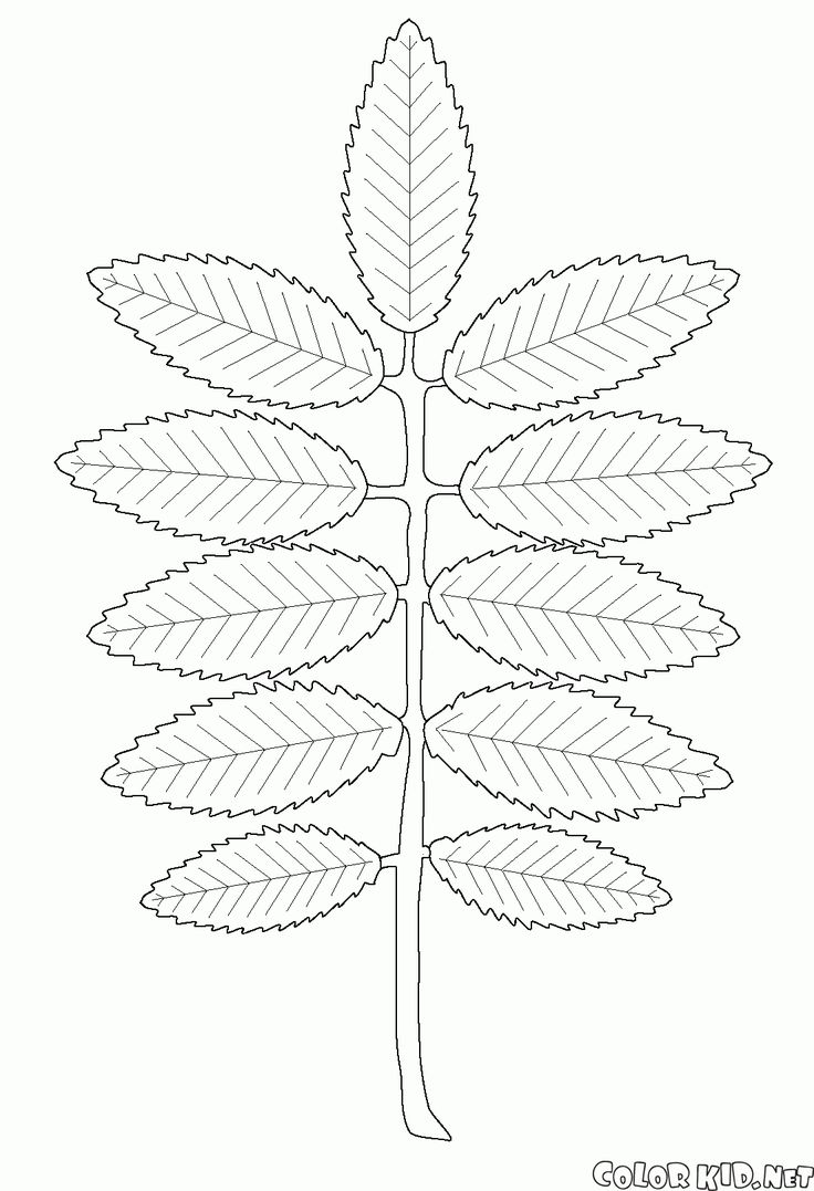 download or print out the coloring page rowan leaf
