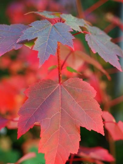 Acer rubrum 'Brandywine'   (Canadian Maple) - A spectacular tree, Acer rubrum 'Brandywine' is a hardy and vigorous tree with leaves that turn shades of vivid purple / red in autumn before falling. This autumn colour can last for several weeks in good weather!