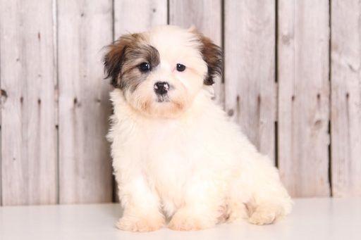 Zuchon puppy for sale in MOUNT VERNON, OH. ADN-32620 on PuppyFinder.com Gender: Female. Age: 9 Weeks Old