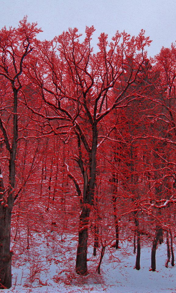 ✮Red Trees, Guest Room, Colors Red, Amazing Photography, Winter Trees, Favorite Colors, Autumn, Beautiful Colours, Red Forests
