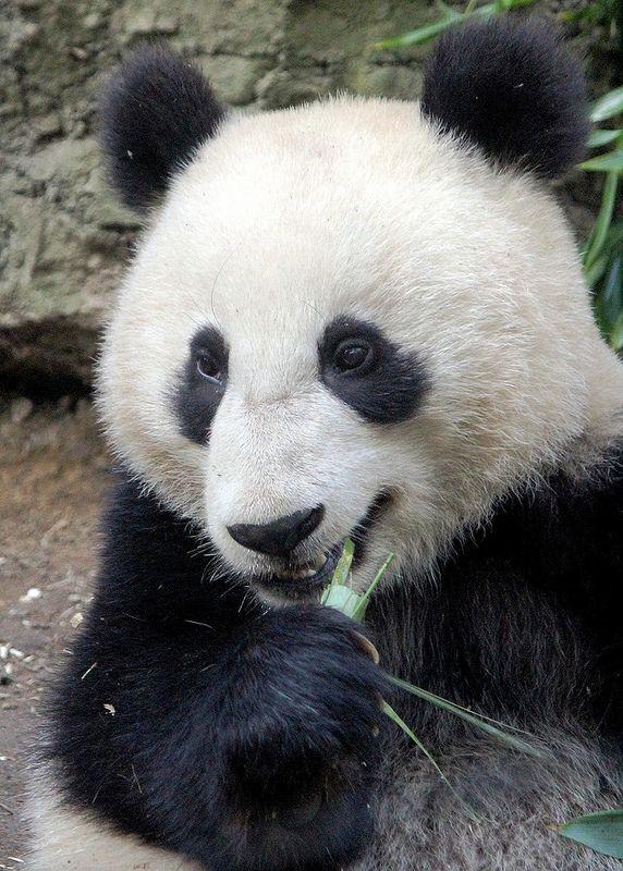 Giant Panda - Xiao Liwu