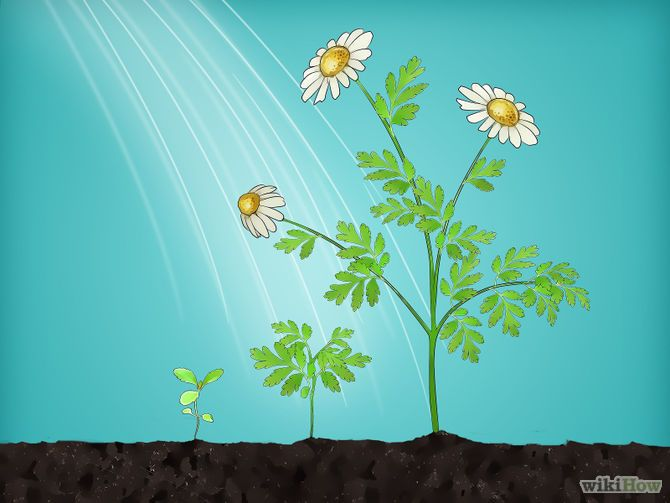 growing camomile in garden