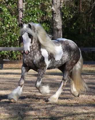 gypsy vanner dapple grey horses | Allison Finch , palominolover and DraftyAiresMum like this.