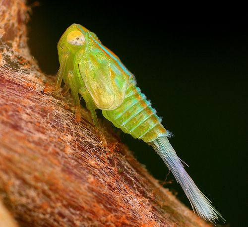 Leafhopper is the common name given to many species within the family Cicadellidae. Leafhoppers are found all over the world and there are as many as 20,000 described species.