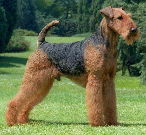 Dit is een Airedale terriër; een opgewekte en een intiligente hond. Ze worden ongeveer 12 jaar oud. Ze zijn lief voor kinderen. De hond moet thuis regelmatig worden getrimd. (Getrimd= Knippen/scheren.) Ze waren vroeger jachthonden. Dus ze willen graag een aantal keer op een dag wandelen. En ze zijn gek op achter een balletje aan rennen. Als je deze hond wil hebben, dan moet je niet in de stad wonen. Maar liever in een huis met een grote tuin.