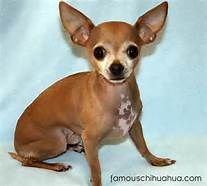 Deer Chihuahua - Bing Images