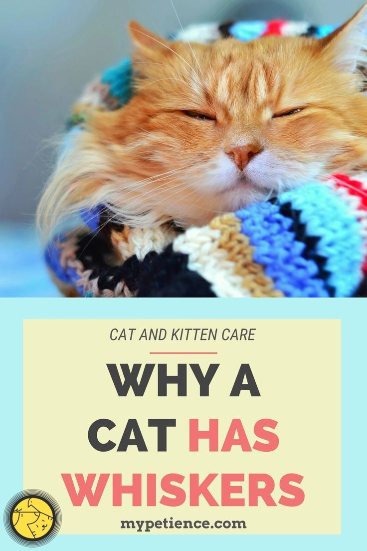 Do Cat Whiskers Grow Back Cat And Kitten Care In 2020 Kitten Care Cats And Kittens Cat Whiskers