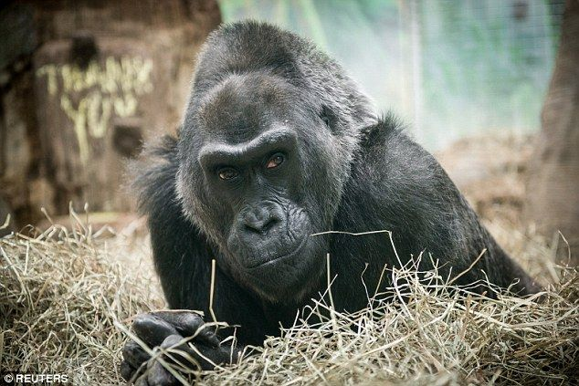 Colo in 2015. She was the oldest gorilla on record and exceeded her normal life expectancy by more than two decades