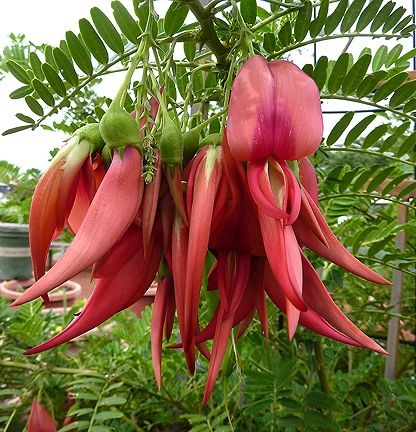 "Clianthus puniceus ""Parrot's Beak"" Fabaceae. #6 most rare flower on the planet"