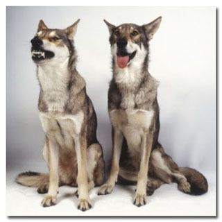 The 5 Coolest Pets Humanity Has Bred into Existence | Cracked.com | Saarloos Wolfhound