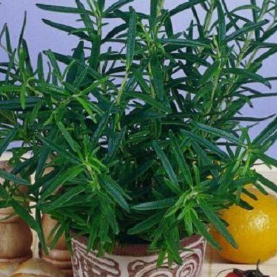 Rozmarin. Rozmarinul este un condiment foarte apreciat in bucataria mediteraneana.